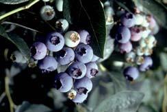 Grow Berries Bryant Blueberry Farm