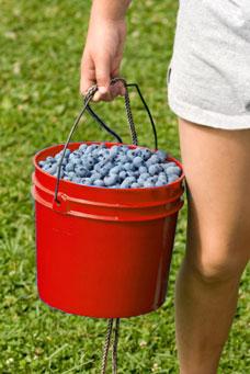 U-Pick Bryant Blueberry Farm