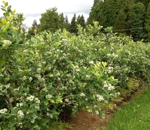 Bryant Blueberry Farm, Arlington, WA