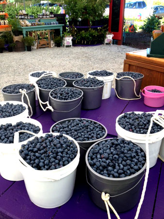 our-farm-u-pick-blueberries-bryant-blueberry