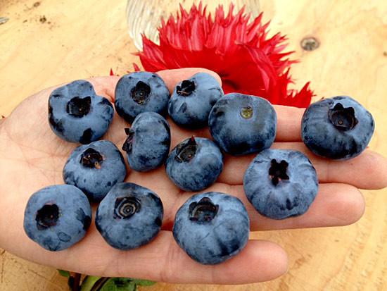 u-pic-we-pick-fresh-berries-in-season-bryant-blueberry